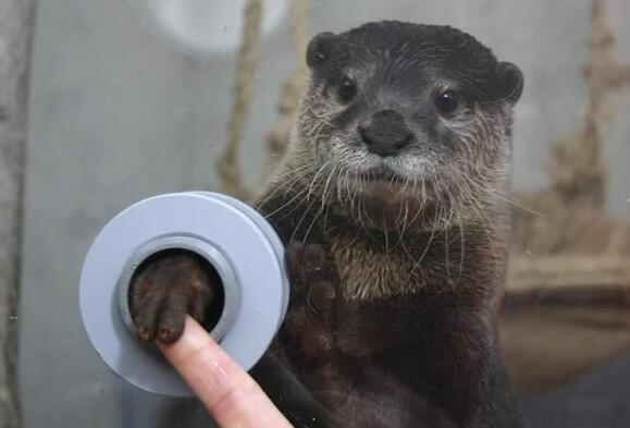 hkirkh:  FYI, there is an aquarium where you can shake hands with otters.
