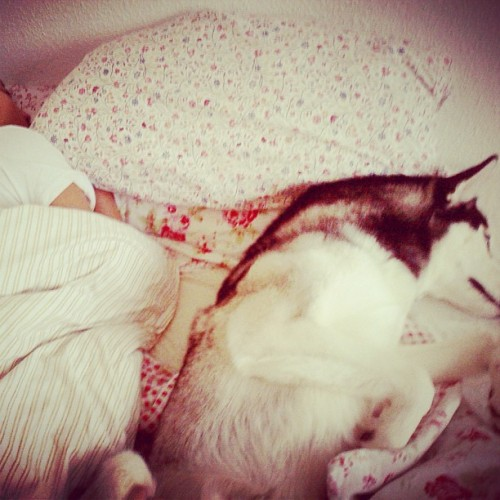 Like father like son, 8 am and still sleeping 😘#gabrielthehusky #husky #sibeshusky #siberianhusky #pet #puppy #dog #instadog #dogstagram #sleeping #welpen #weekend #sunday #bed #photooftheday