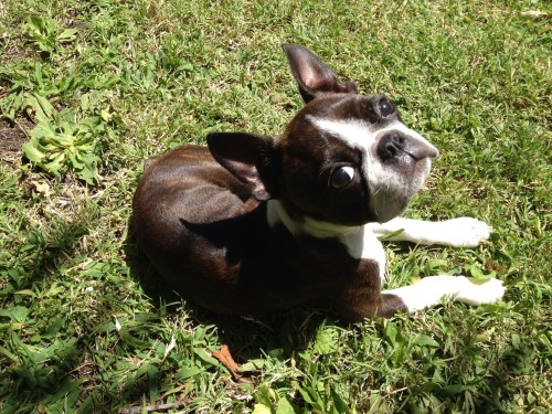 fuckyeahbostonterriers:  Hitch is sun bathing!
