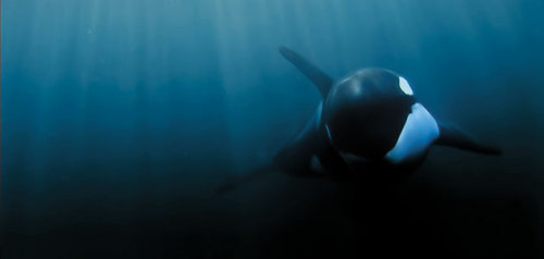 "sadderdaymorning:  The next time you think Orcas are satisfied with living in captivity: Orcas have evolved complex culture: a suite of behaviors animals learn from one another. They communicate with distinctive calls and whistles. They can live 60 years or more, and they stay in tightknit matrilineal groups led by older females that model specific behaviors to younger animals. Scientists have found increasing evidence that culture shapes what and how orcas eat, what they do for fun, even their choice of mates. Culture, says Hal Whitehead of Dalhousie University in Halifax, Nova Scotia, ""may be very important to them."" Some of the first evidence of cultural differences among orcas came from studies of vocalizations in whales that frequent the coastal waters of British Columbia and Washington State. Such ""residents"" belong to four clans, each with multiple groups. While the clans live close together—their ranges even overlap—their vocalizations are as different as Greek and Russian. And smaller groups called pods have dialects akin to a Southern drawl or a clipped New England accent. full article"