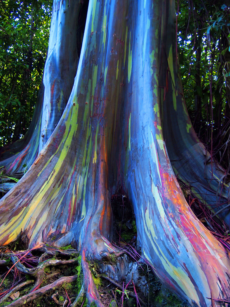 The Rainbow Tree, This form of eucalyptus grows throughout the Maui rainforests. Its bark peels back throughout the year revealing a beautiful range of colours.