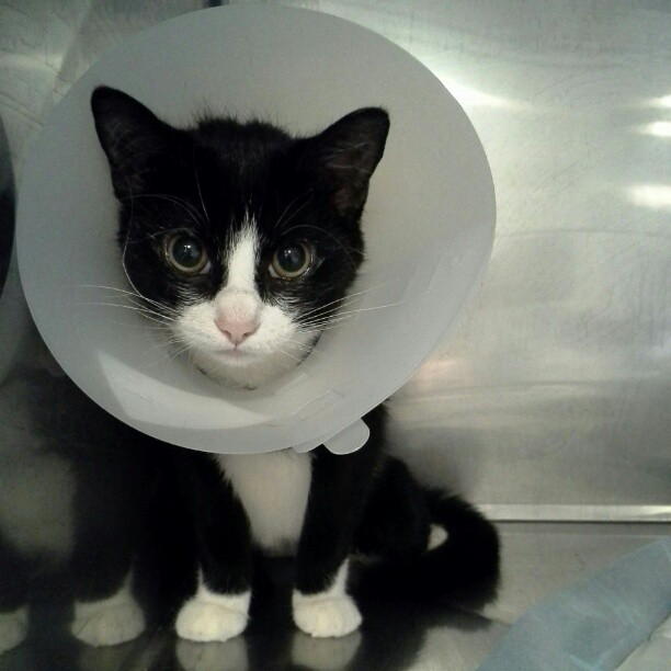 lizloveslife:  #kitty #cat with a cone on his head…#cute #vetsoffice #internship