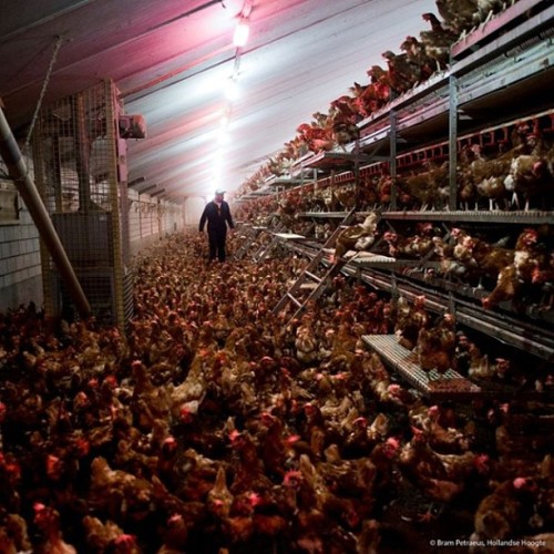 "justicecoming:  This is a cage-free egg farm. This supplier would be allowed to also call this farm ""humanely raised"" and depending on the feed, call it organic. Does it look humane to you? Does it look like they have any more space than a battery cage? They're still debeaked. Still de-toed. The males are still ground up alive! And they're still slaughtered. So what could possibly make this ""humane""? That's right, nothing."