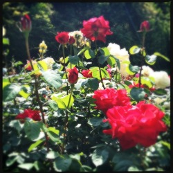 #rose #garden the other day.
