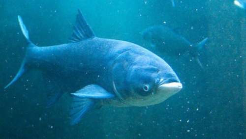 Asian carp invasion reaches Great Lakes Likely evidence of the invasive species has been found in Lake Michigan and Lake Erie.