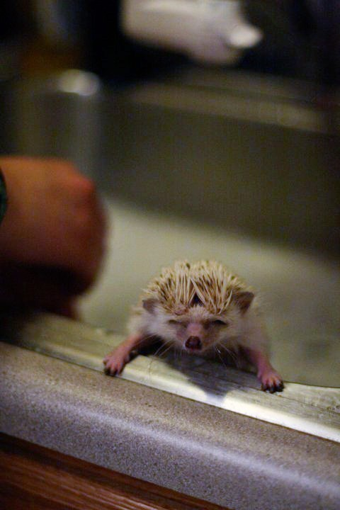 only-the-cutest-things:  Cute hedgehogs