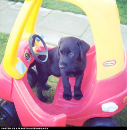 Black Lab puppy Riley is trying to figure out how to get his bum on the seat so he can go for a little spin! Now how do those hoomins do it?? Via @riley_the_lab For more cute dogs and puppies