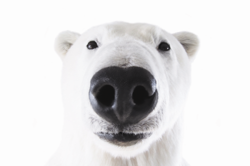 "climateadaptation:  Why do polar bears matter? The Pacific Standard Magazine has published one of the most moving pieces I've read in a long, long while. It's long been known that polar bears are endangered, and that the core reason is loss of habitat - sea-ice. The bears are unique. We revere them not just because they're cute and cuddly. But because they are masters of the environment, masters of ""child care,"" and just overall really fucking resilient animals. They depend on sea-ice for hunting food on a seasonal basis, which is a hard concept to wrap our heads around. But the bottom line is that sea-ice is disappearing as the earth warms, and the bears are not adapting their hunting techniques as fast as the ice is melting. So, again, why do they matter? Author Zach Unger speculates on the answer:  And what we notice when we stare at these bears is that they're a lot like us. They're smart and tough and they nurture their young. They're cute and cuddly and unpredictably ferocious. They're the top of the food chain, they're without natural predators. This isn't some red-legged frog, warty and swamp-dwelling, that faces annihilation. This is a master predator, a carnivore, with hands and feet and hair. This bear is the boss. So when we think about polar bears going extinct, it's not their absence that worries us; it's our own. And because it's our fault—and because it may be our future—the bears have become the most important animals on earth. After ourselves, of course.  Zach's piece includes a slideshow, interactive maps and charts, and a video covering the challenges polar bears face. We are witnessing - indeed cataloging every step - of the polar bear's extinction. As we end 2012 and reflect on what has been, this article (one of the best I've read in a long while) is a sober glimpse into the future of what is to be. PSMAG"