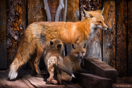 animals-animals-animals:  Foxes (by kkart)