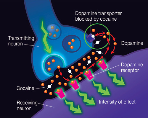 neurolove:  DOPAMINE! Alright, moving along to dopamine (DA), which is probably my favorite neurotransmitter (and likely yours too- even though you don't realize it!). Dopamine is the neurotransmitter involved in addiction (shown above for cocaine- since cocaine blocks the dopamine transporter, it causes dopamine to stay in the synapse longer), and basically anything rewarding.  When you get a surprise or win some money, dopamine is what causes that feel-good rush! It's the transmitter involved in reward, but it also has other functions as well- it helps with prefrontal concentration, accurate movements, control of thoughts (too much can cause hallucinations), etc. It's really an incredible molecule! Dopamine is produced in the Ventral Tegmental Area (VTA) and Substantia Nigra (SN) in the midbrain and has widespread effects throughout the brain- in the basal ganglia circuitry and throughout cortex. I'll be talking more about this one in coming posts since it's quite fascinating to me! [Image Source]