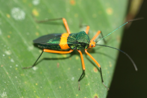unidentified species of true bug in the family Reduviidae, El Zota, Costa Rica (photo: aposematic herpetologist)