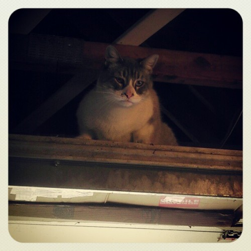 Dumb bitch is stuck in the attic.  #Hubert #cat #dumb #attic #stealthattack