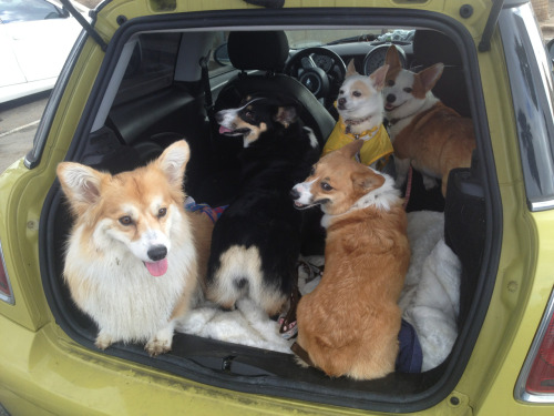 twosillycorgis:  Mini Cooper testing-how many corgis can you fit into a mini?  This is REALLY USEFUL (being a MINI owner). I thought the MINI might be limited at 3 corgis. But it can fit 4.5 corgis!!! THAT IS ALMOST ENOUGH CORGIS!!!