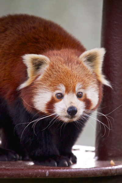 sondaica:  Red Panda (by Future-Echoes)