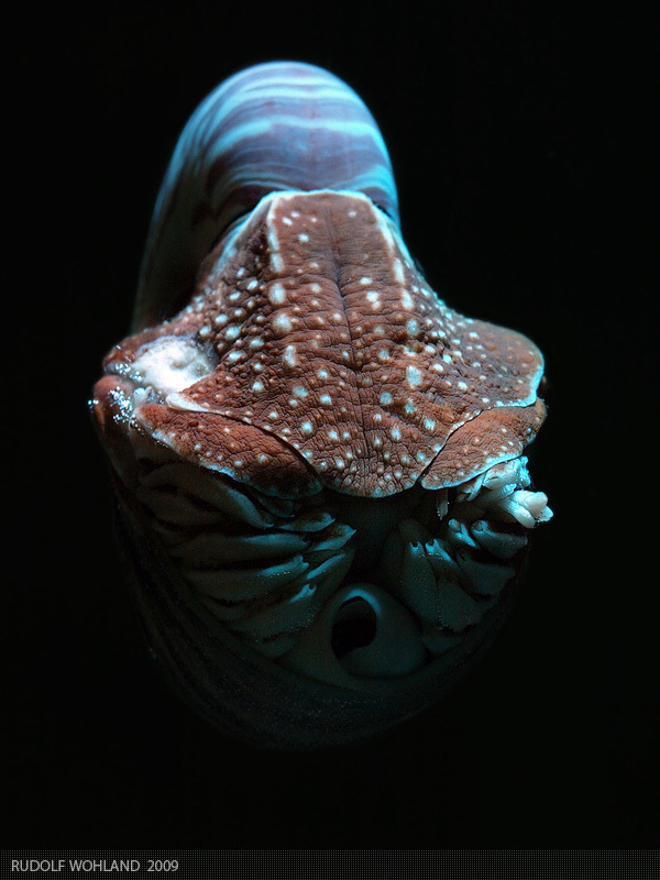 cephalopodsgonewild:  Nautilus by Rudolf Wohland  One day, Nautilus, one day…