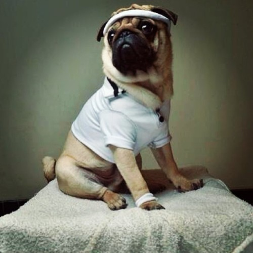 dogsncocktails:  Ready for some good Ol' #exercise! #funny #pug #instapug #pugagram #dogsncocktails @pinterestfavs (at Dogs 'n' Cocktails)