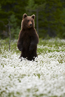 ethereo:   Brown bear (by andrea.marzorati)