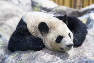giantpandaphotos:  Er Shun at the Toronto Zoo in Toronto, Canada, on May 17, 2013. © Holly Fretwell.