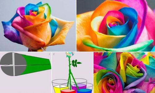 designed-for-life:  How to make Rainbow Roses   STEP 1: Cut a perfect white rose from your garden with 8-9inches stem or buy such.  STEP2: You need to have water soluble colors. Choose four colors. Colors should be much different from each other with high contrast value. Do not choose both blue and indigo but replace one with violet. In the same way do not choose both orange and red. I shall suggest these combinations: RED-BLUE-GREEN-YELLOW, VIOLET-RED-BLUE-YELLOW or YELLOW-PURPLE-GREY-BLUE.  STEP3: Collect four cups or glasses filled with water. Add color to the water and steer well. Add drops of color until the water becomes totally opaque. Four cups will contain four different color solutions.  STEP4: Split the end part of the severed stem. Use a knife or sharp blade to cut lengthwise up to 6 inches.  STEP5: The four ends of the split stem is now should be dipped into four color cups. It should stand erect. Otherwise give support to it.  STEP6: Wait for 24 hours and see the magic. Look at the transformation of your simple white rose! Now take it out. After that bind the split ends using adhesive tapes.