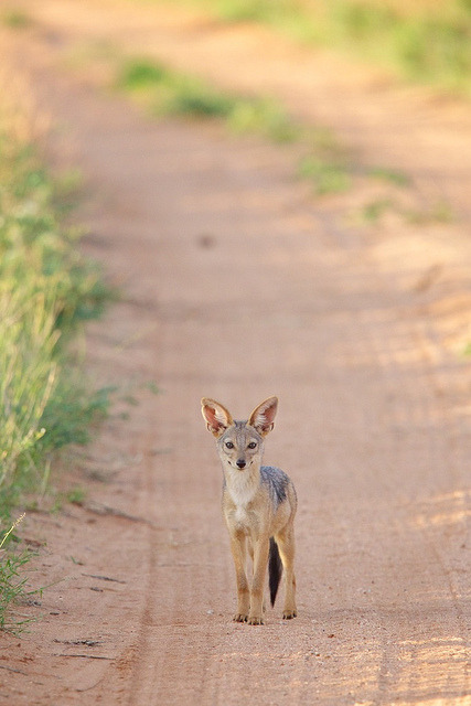 Jackal pup (by Scott Grubb)