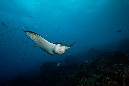 100leaguesunderthesea:  Eagle ray by Maria Teresa Lara