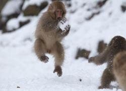 funnywildlife: Snow Monkey does a snowball slam dunk