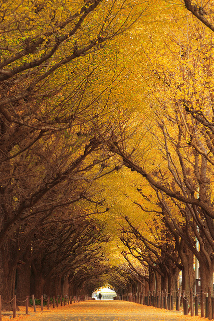 Ginkgo Trees by mrhayata on Flickr.