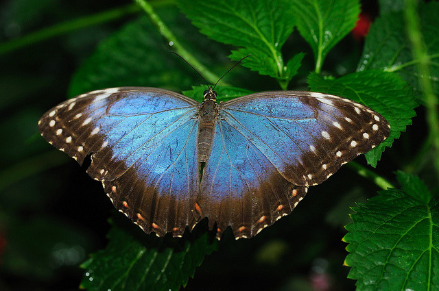 Blue Morpho Butterfly on Flickr.