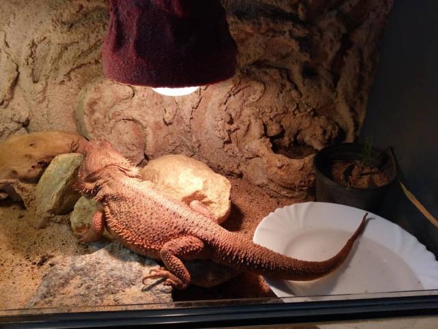 Náš Agi dnes odpoledne 16. května 2021: Václav Kovalčík, Zlín  #agama #Pogonavitticeps #animal #animals #zvíře #zvířata #plaz #plazi #ještěr #zoology #zoologie #nature #home #doma #přátelství #ethology #lizard #reptiles #terárium #spring #jaro #Agi #Agamečka #locusta #locust #saranče #may #kveten #kokosovévlákno #ananas  (v místě Czech Republic) https://www.instagram.com/p/CO73Y12gwy4/?igshid=1tw4xf80lf8kb #agama#pogonavitticeps#animal#animals#zvíře#zvířata#plaz#plazi#ještěr#zoology#zoologie#nature#home#doma#přátelství#ethology#lizard#reptiles#terárium#spring#jaro#agi#agamečka#locusta#locust#saranče#may#kveten#kokosovévlákno#ananas