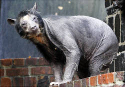 talitalitalitali:   I see your shaved bear.    He reminds me of the Professor from Sliders. Sliders - EPISODE 306 The group lands on a world were bears, not apes evolved into the dominate species. Luckily they are able to trick Bear Will Sasso into renting them a room at the hotel they always stay at and they just fuckin' camp out while watching bizarre bear sitcoms and eating honeycomb cereal.