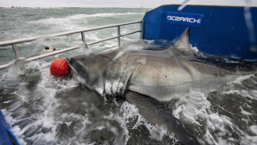 2,000-pound great white shark tagged, tracked The great white, which is nicknamed 'Lydia,' is the first to be tagged and released in Florida waters.
