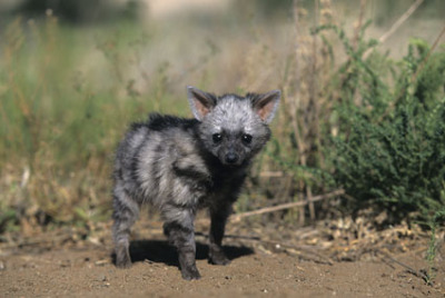 mismatch-the-crux:  can we talk about how cute aardwolves are   sdfjksdf