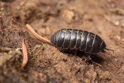 Common terrestrial pill bug (Armadillidium vulgare) Contrary to popular belief, pill bugs are not bugs. They are not classified into the class Insecta, and aren't even in the same subphylum. Pill bugs are crustaceans, specifically isopods, which are more closely related to lobsters and crabs than they are to insects. (Source)