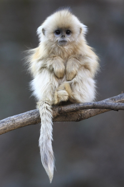 sircuntyballsthethird:  ughhhhhHHHHHHHHHHHHHH  i usually find monkeys pretty creepy but THIS little shit is cute af