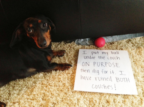 dogshaming:  I Dig It  I put my ball under the couch ON PURPOSE then dig for it like a maniac. I have ruined BOTH couches!  View Post