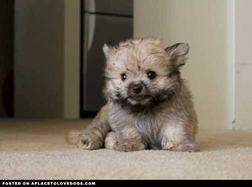 Cute little baby Ewok puppy! Also known as a Pomeranian/Shih Tzu. So fluffy and little… Original Article