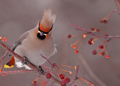 funnywildlife:  Bohemian Waxwing…#11 (love that doo) by Blackcat Photography on Flickr.