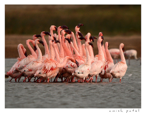 "flamingo's courtship "" flame dance "" by amish_patel on Flickr. Flamingos are actually ridiculous."