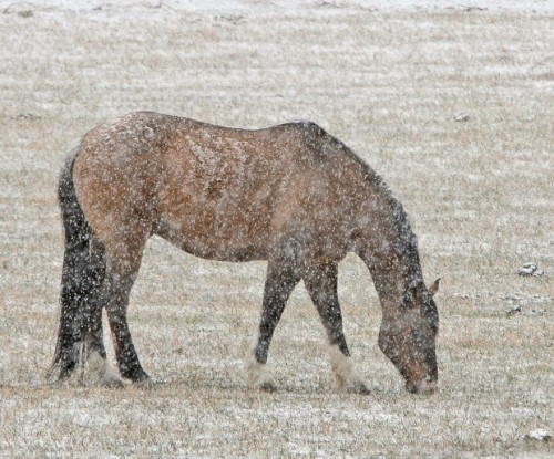 A horse grazes along Alkali Creek Road as Spring snow falls in Billings on Friday.
