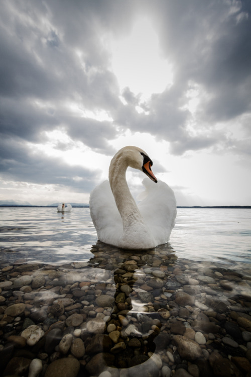 earthandanimals:  Majestic Swan Photo by Jörg Wendland