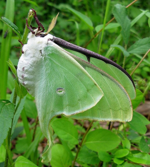 fyeahcutemoths:  Another Luna.