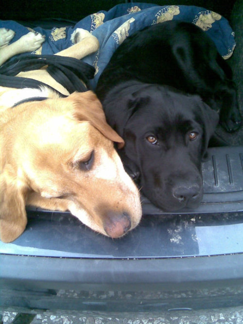 handsomedogs:  Bruce and Bailey