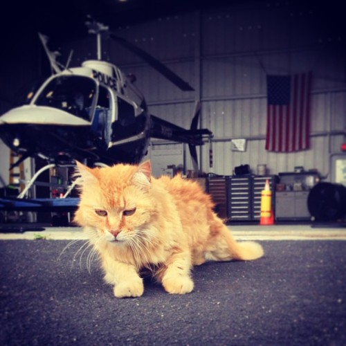 This is Chopper, he showed up at the Police Aviation Hanger about 14 years ago and never left