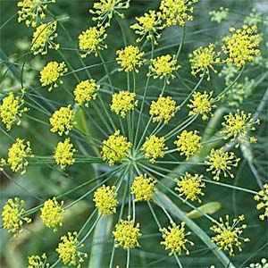 Here's FENNEL for you …
