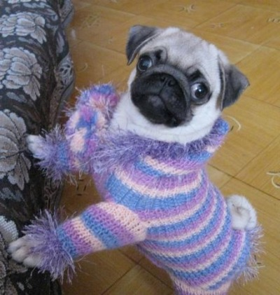 pugsinclothes:  dapperpugs:  Haayyyy via  Such a silly sweater!!
