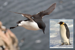 "Why Do Penguins Fly Not? by Traci Watson Long, long ago, O Best Beloved, the ancestor of the penguins could soar through the air. So why did the penguin give up flight? Rudyard Kipling never wrote a Just So story with an answer, but now scientists have one: The penguin doesn't fly because it would rather swim. A new study of murres, penguinlike seabirds that retain the ability to take wing, shows just how costly and inefficient it is to be both a diver and a flyer. The new findings back the long-held hypothesis that penguins gave up the heavens more than 70 million years ago to become kings of the waves. ""This study contributes a lot by putting hard numbers on the energy costs of moving through both the aerial and aquatic realms,"" writes Daniel Ksepka of North Carolina State University in Raleigh, who studies penguin evolution and was not involved with the research, in an e-mail… (read more: Science News/AAAS)  (photo: Kyle H. Elliott; (inset) Samuel Blanc)"