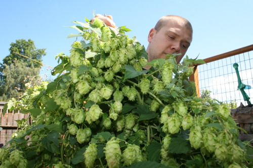 So my wife and I harvested hops today. Cascade, Nugget and Glacier all the while drinking a couple of pints of mint kolsch from Gilgamesh. I know it's my month off from drinking but it was hot and dammit…harvesting hops demands beer.
