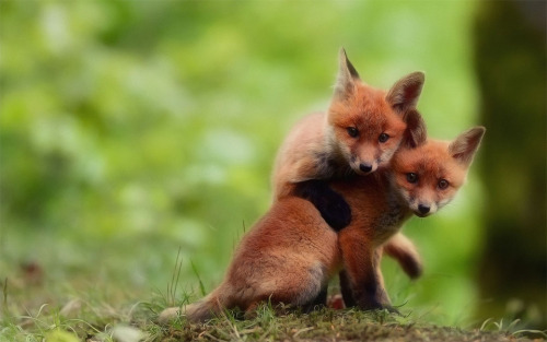 magicalnaturetour:  Two cute baby fox brothers by florian girardin