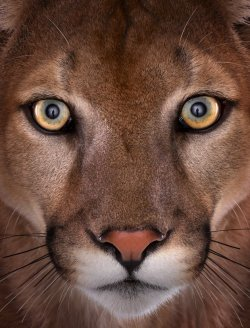 nature-madness:  Mountain Lion Portrait