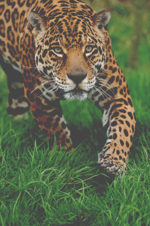frncsc187:  Jaguar | Source